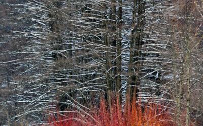 Nevica  sui salici