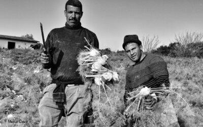 Lavoratori magrebini nella raccolta dei finocchi
