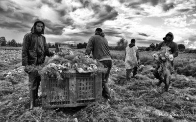 Lavoratori magrebini nella raccolta dei finocchi a Isola Capo Rizzuto.